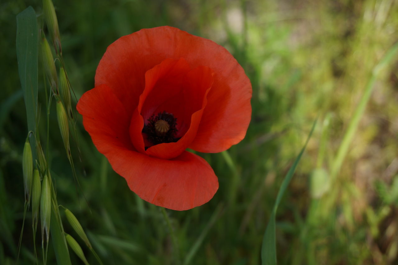 Poppy series . Flower Plant Petal Poppy Red Nature Growth Flower Head Close-up Freshness Fragility Vibrant Color Beauty In Nature No People Outdoors Uncultivated Day Rural Scene