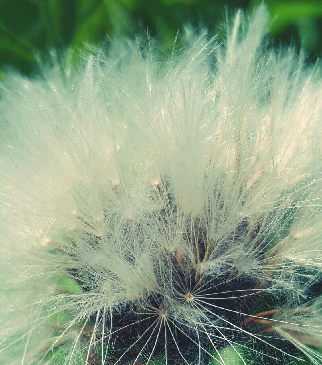 dandelion, growth, flower, dandelion seed, nature, fragility, freshness, plant, softness, close-up, uncultivated, beauty in nature, botany, wildflower, seed, flower head, no people, springtime, outdoors, day, soft focus, grass
