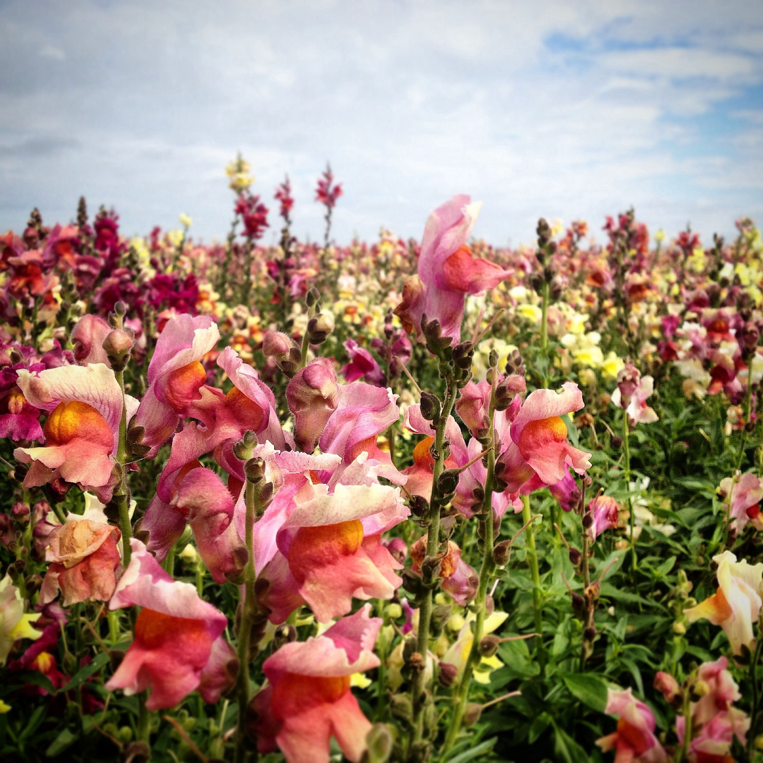 flower, freshness, fragility, petal, beauty in nature, growth, sky, blooming, nature, pink color, flower head, plant, cloud - sky, leaf, in bloom, blossom, field, abundance, springtime, day