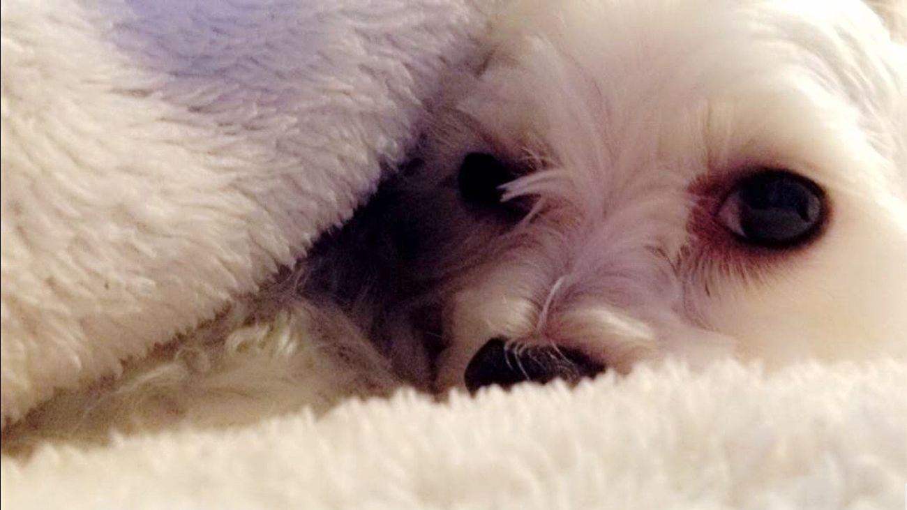 Puff ✨ Pets Dog Close-up Domestic Animals Comfortable Mammal Animal Eye No People Indoors  Pampered Pets