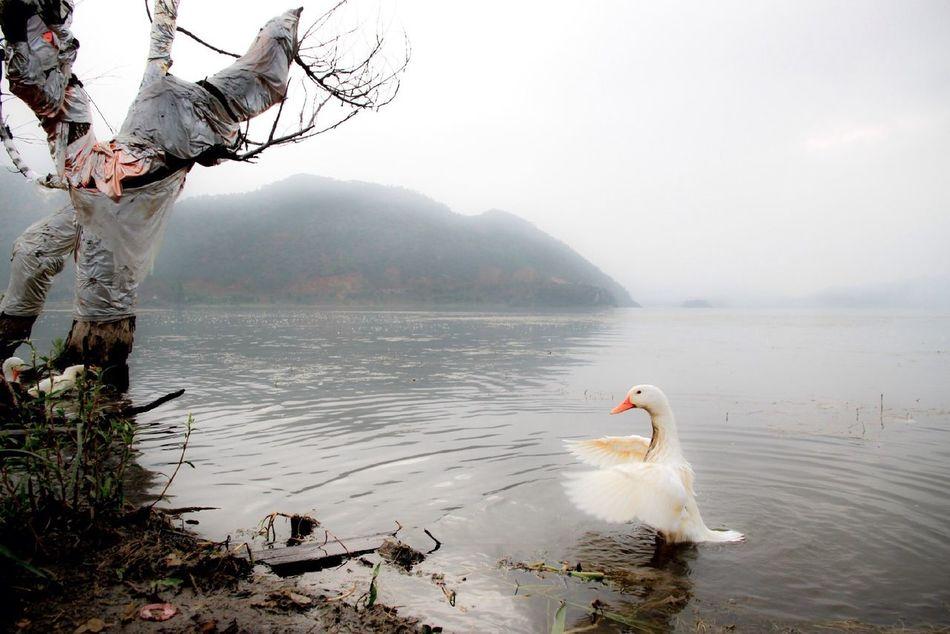 Beautiful stock photos of duck, Animal, Animal Themes, Avian, Beak