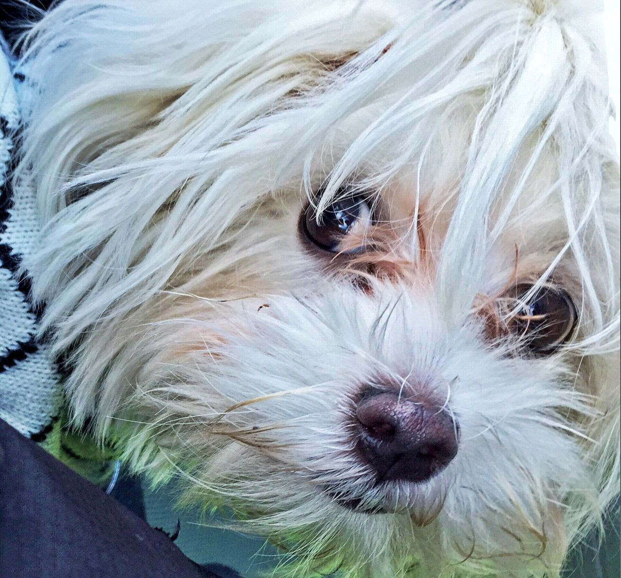 dog, pets, one animal, domestic animals, animal themes, mammal, animal hair, looking at camera, portrait, hairy, close-up, cute, no people, outdoors, day