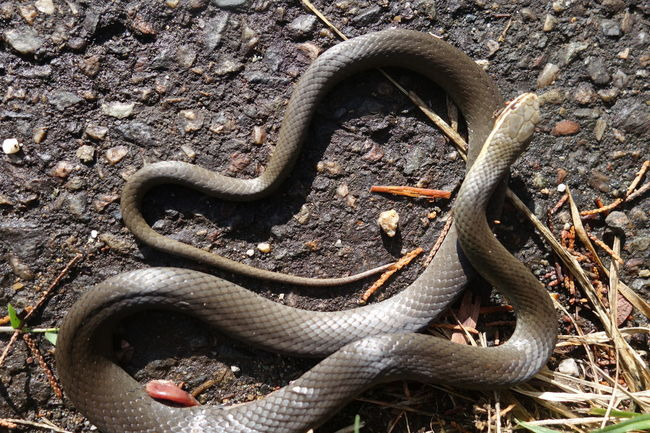 Australia Marsh Snake No People Outdoors Snake Snake View From Above Wildlife