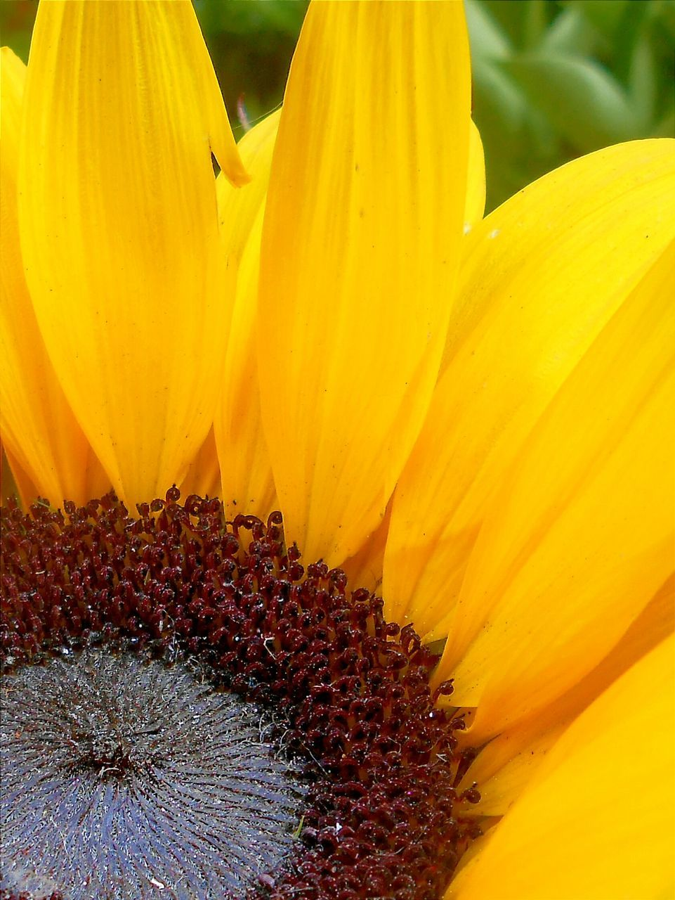 Close-up of sunflower blooming