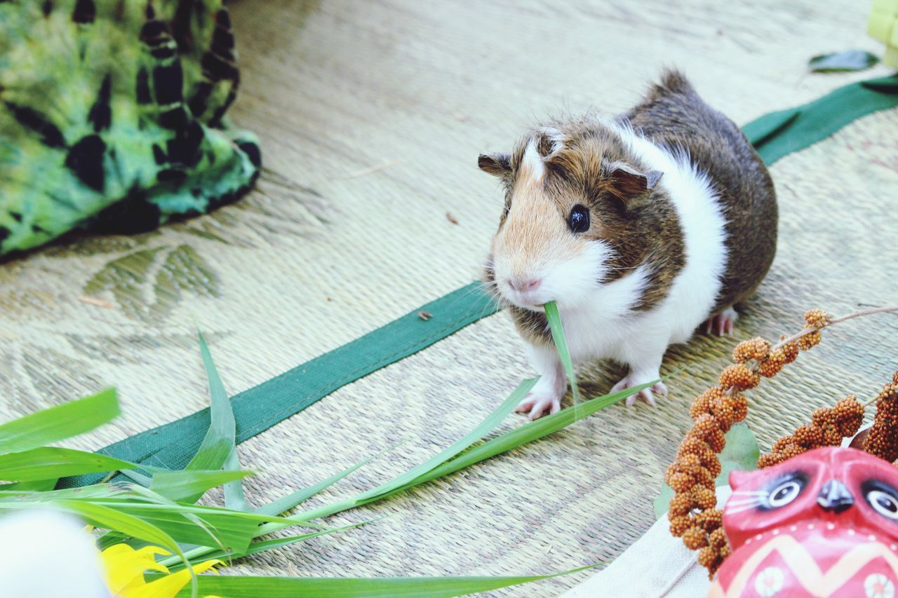 Beautiful stock photos of hamster, Blade Of Grass, Eating, Elevated View, Full Length