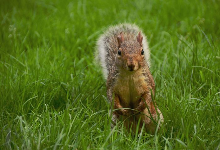 Hey little guy! Squirrel Sitting on Grass Attentive Observant Animal Themes Animal Shot Nature Photography Close-up at St. James's Park London