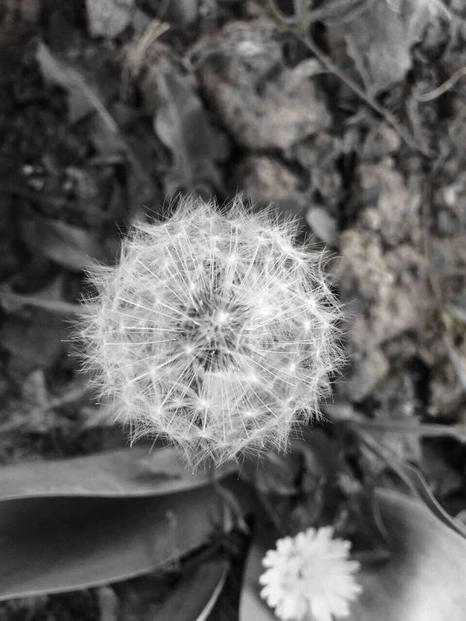 flower, dandelion, fragility, flower head, growth, nature, softness, plant, freshness, uncultivated, close-up, beauty in nature, focus on foreground, wildflower, blossom, springtime, petal, outdoors, day, blooming, hope, no people