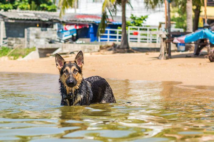 Alsatian Animal Themes Beach Day Dog Domestic Animals German Shepherd I Love My Dog Mammal One Animal Outdoors Pattaya Thailand Pets Relaxation Relaxing Swimming