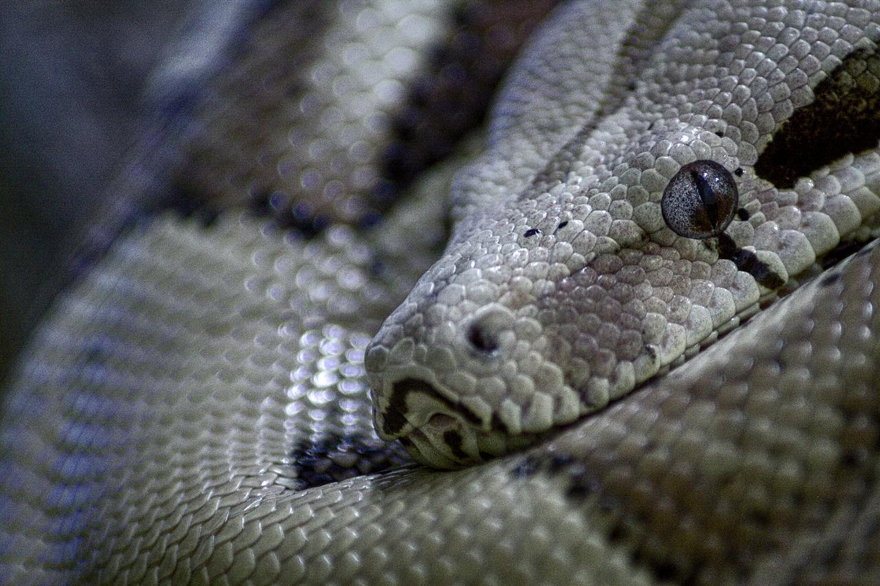 Animal Head  Boa Constrictor Maximum Closeness One Animal Reptile Snake Snake Eyes Snake Skin