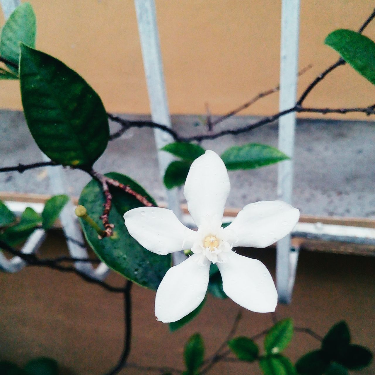 flower, growth, fragility, white color, petal, beauty in nature, leaf, nature, day, plant, freshness, close-up, no people, flower head, outdoors, blooming, architecture, periwinkle
