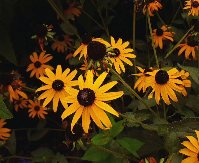 Beauty In Nature Black-eyed Susan Bloom Blossom Botany Close-up Daisies Flower Flower Head Fragility Freshness Growth In Bloom Nature No People Petal Plant Pollen Springtime Summer Tranquility Vibrant Color Yellow Yellow Color