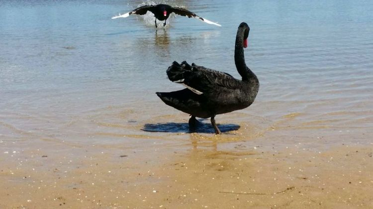 No People Outdoors Animal Themes Swimming Day Nature Water Swan Bird Black Swan Animals In The Wild Animal Wildlife Reflection One Animal Lake Flying Swan Angry Swam Shadow Sand Be. Ready.