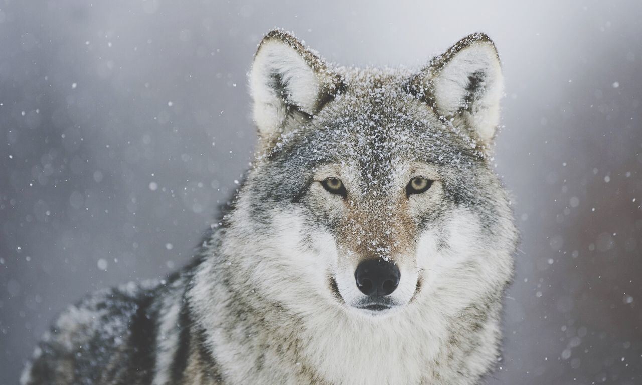 winter, snow, cold temperature, mammal, one animal, wolf, white color, weather, nature, animal wildlife, animals in the wild, portrait, outdoors, snowing, looking at camera, focus on foreground, animal themes, close-up, no people, day, beauty in nature, warm clothing
