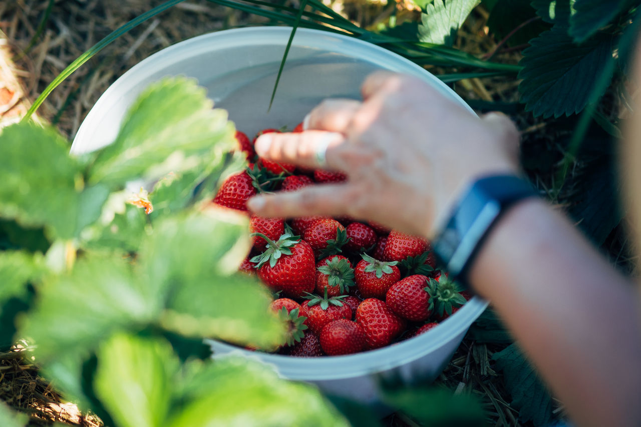 Some strawberries for the lunch Close-up Day Food Food And Drink Freshness Fruit Healthy Eating Holding Human Body Part Human Hand Leaf Lifestyles Nature One Person Outdoors People Raspberry Real People Red Selective Focus Strawberry Women