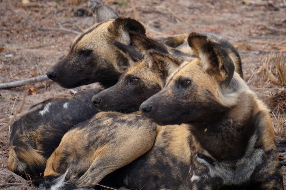 You've got my attention 🐶 Wilddogs Dogs Southafrica Africa Safari Focused