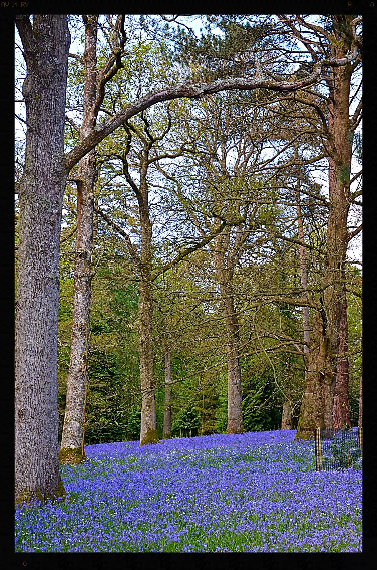 Beauty In Nature Bluebell Wood Bluebells Bluebells, Spring, Springtim Flowers Flowers, Nature And Beauty Flowers,Plants & Garden Nature No People Tranquility Tree