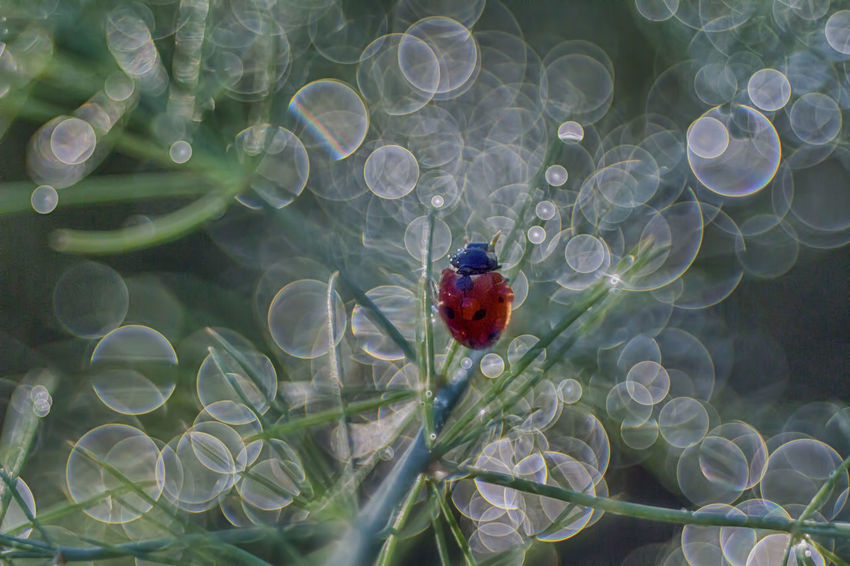 Animal Themes Beauty In Nature Bokeh Photography Close-up Day Flower Fragility Freshness Green Color Growth Ladybug Leaf Nature No People Outdoors Plant Real Bokeh Trioplan100 Water