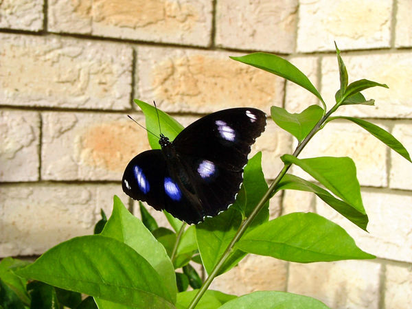 Grandma's Butterfly Animal Themes Animals In The Wild Brick Wall Butterfly Butterfly - Insect Close-up Day Insect Leaf Nature Outdoors Plant Wings