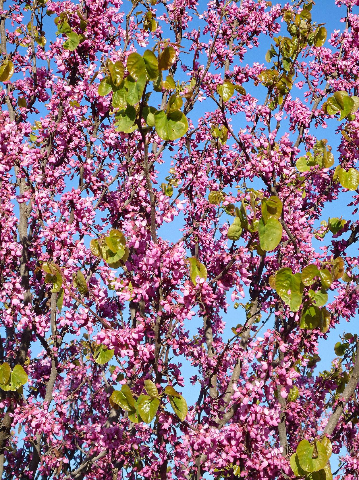 Cercis siliquastrum. April Bloom Blooming Blue Sky Branches Cercis Siliquastrum Exuberant Flowerets Flowers Freshness Leaves Lilac Lush Nature Pattern Pink Pink-purple Flowering Branches Pink-violet Purple Purple Flowers Spring Tree