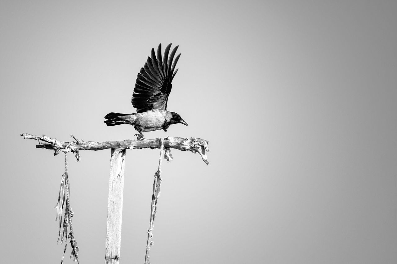 taking off. Bird Animals In The Wild Animal Themes Animal Wildlife Nature Spread Wings Perching Crow The Week Of Eyeem Berlin Tempelhofer Feld Fly Away Start Start To Fly Animals In The City Blackandwhite Monochrome Berlin Black And White Winter Alpha7 Lover