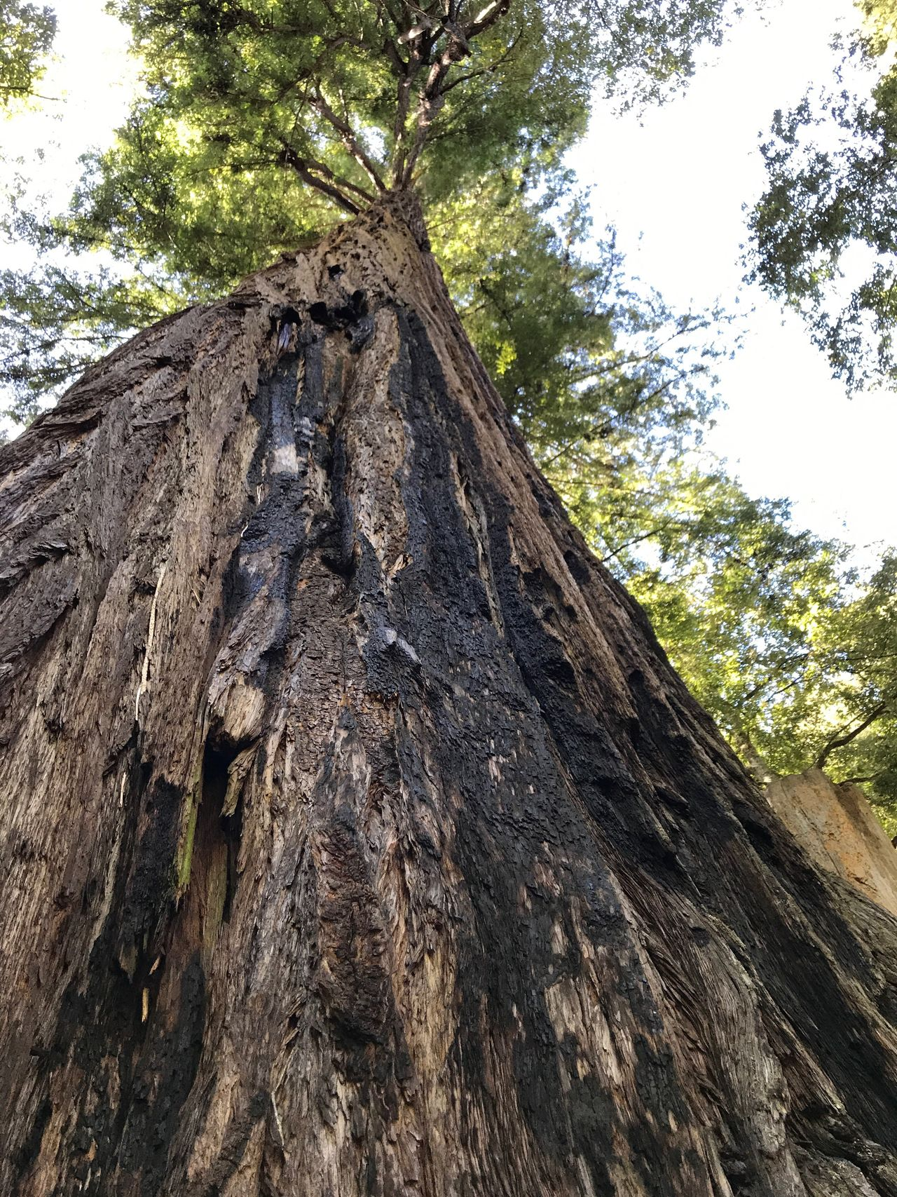 Giant redwoods Tree Tree Trunk Low Angle View Rough Textured  Day Bark Wood - Material Outdoors Nature No People Climbing Sky Close-up