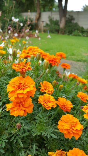Marigold (Tagetes erecta) flowers in a garden setting. Flowers Flowers,Plants & Garden Landscaping Flowers, Nature And Beauty Flowers In My Garden Garden Garden Photography Gardening Landscaping_services Marigold Gardens Gardening Plants Plants 🌱 Plants And Flowers
