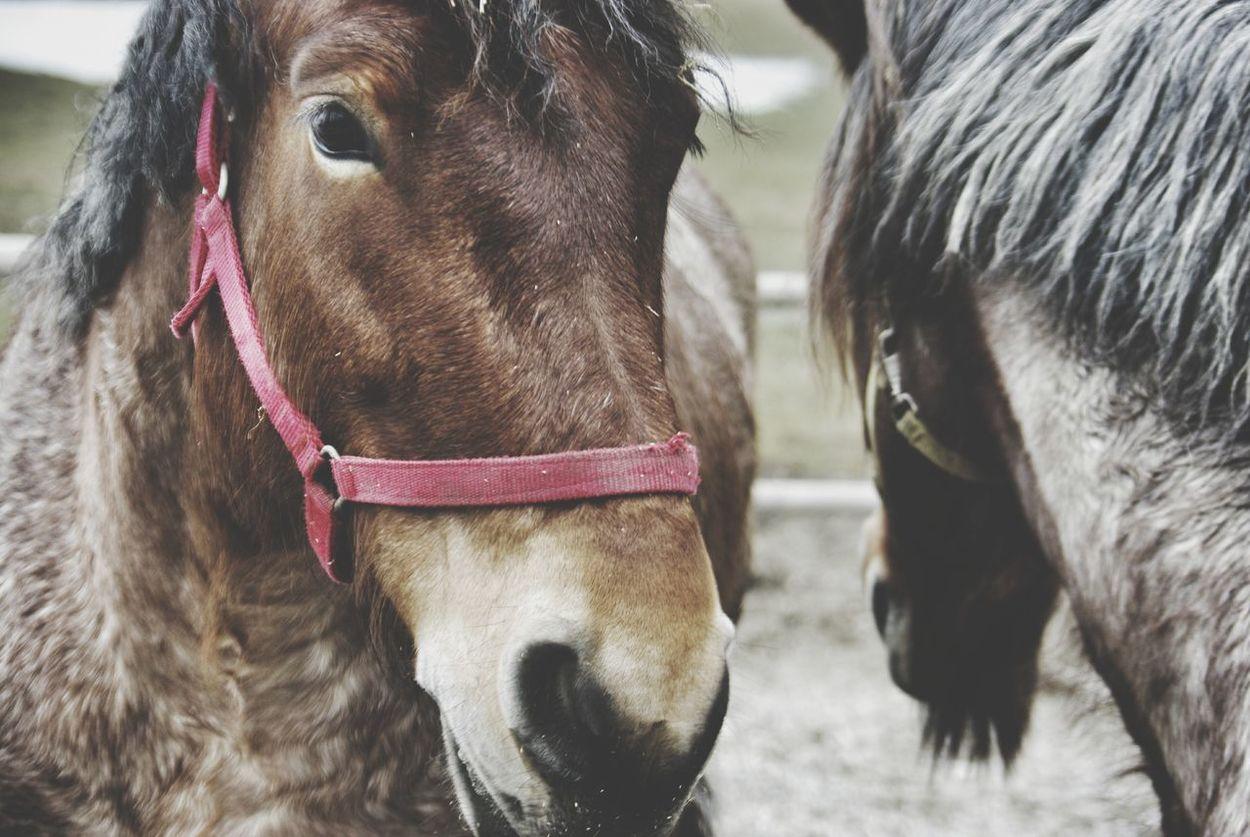 Two Horses Animals Domestic Animals Mammal Close-up Livestock Animal Themes Animal Head  Animal Photography Horse Detail Horse Head Brown Horse Horse Eyes Breeding