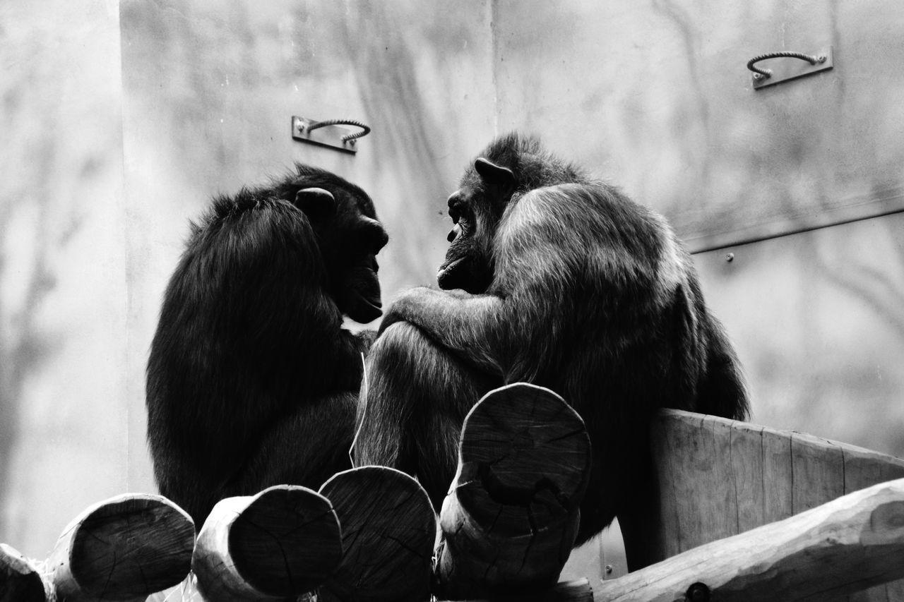animal themes, monkey, mammal, outdoors, day, togetherness, chimpanzee, no people, friendship