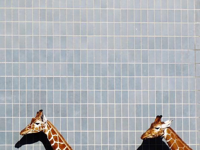 Pattern Pattern Pieces Pattern, Texture, Shape And Form Animal Themes Animals Animal Photography Animal Head  Animal_collection Minimalism Minimalistic Minimalist Photography  Minimal Minimalobsession Minimalmood Giraffe Giraffes
