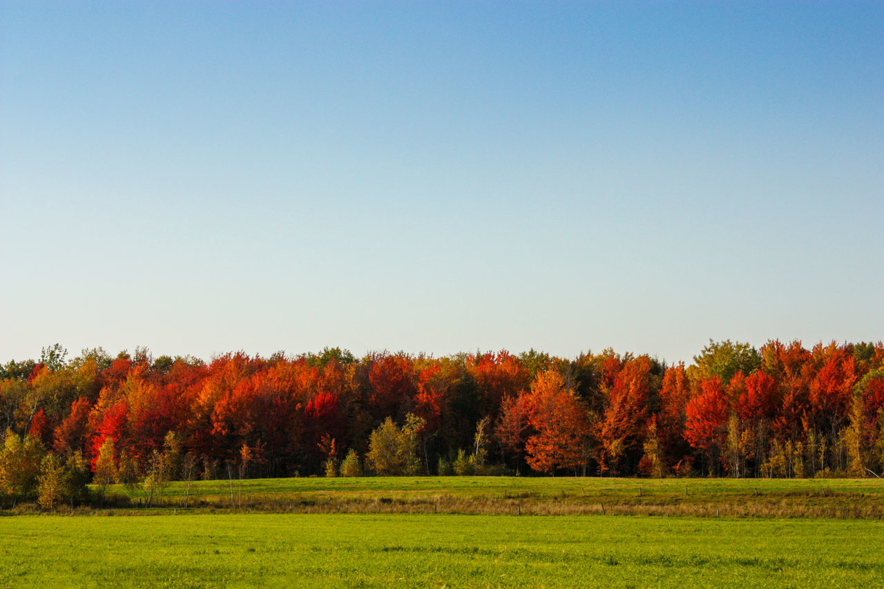 tree, autumn, nature, field, tranquility, beauty in nature, tranquil scene, clear sky, landscape, change, no people, scenics, outdoors, grass, day, growth, scenery, sky