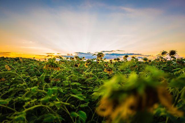 Sunflower Field at Sunset Clemson Sunflower