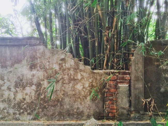 First Eyeem Photo Broken Wall and Bamboo Tree... Iphoneonly
