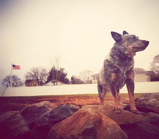 Australiancattledog Soukie NewEnglandWinter Morning Sky Dog Winter On The Beach