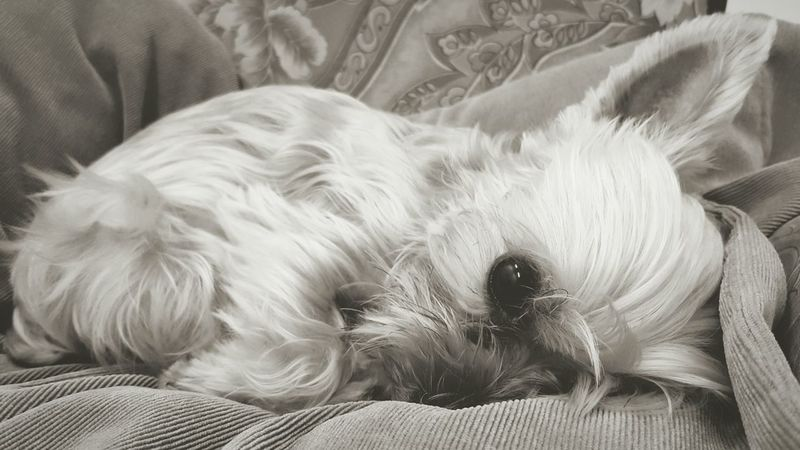 Animal Themes Pets Indoors  Close-up Ocha Yorkshire Terrier Black And White Rest Sleep Baby Big Eye
