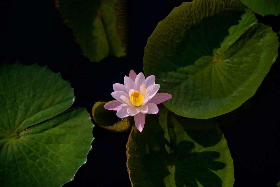 Flower Nenuphar