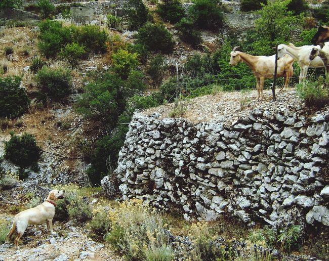 Dog Goats Dog And Goats Goatsarecool Islandlife Nature Love Nature Nature_collection Naturelover Hiking Hikingadventures Village Life Labrador Trip Adventure