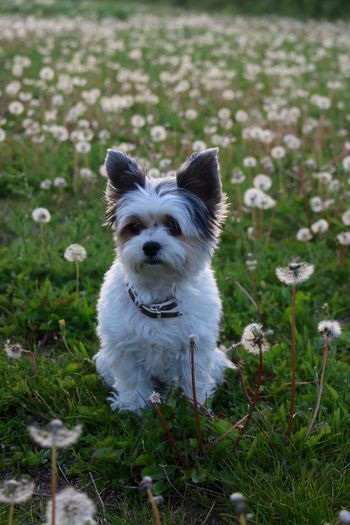 Charming Dog Yorkshire Dog Pets Domestic Animals Grass Looking At Camera One Animal Animal Themes Outdoors Flower Growth Nature Mammal Day Portrait No People