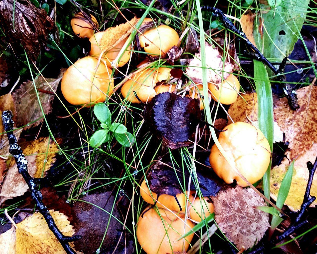 Picking chantarelles today Chantarelles Yellow Chantarelles In The Mountains October Sweet October!