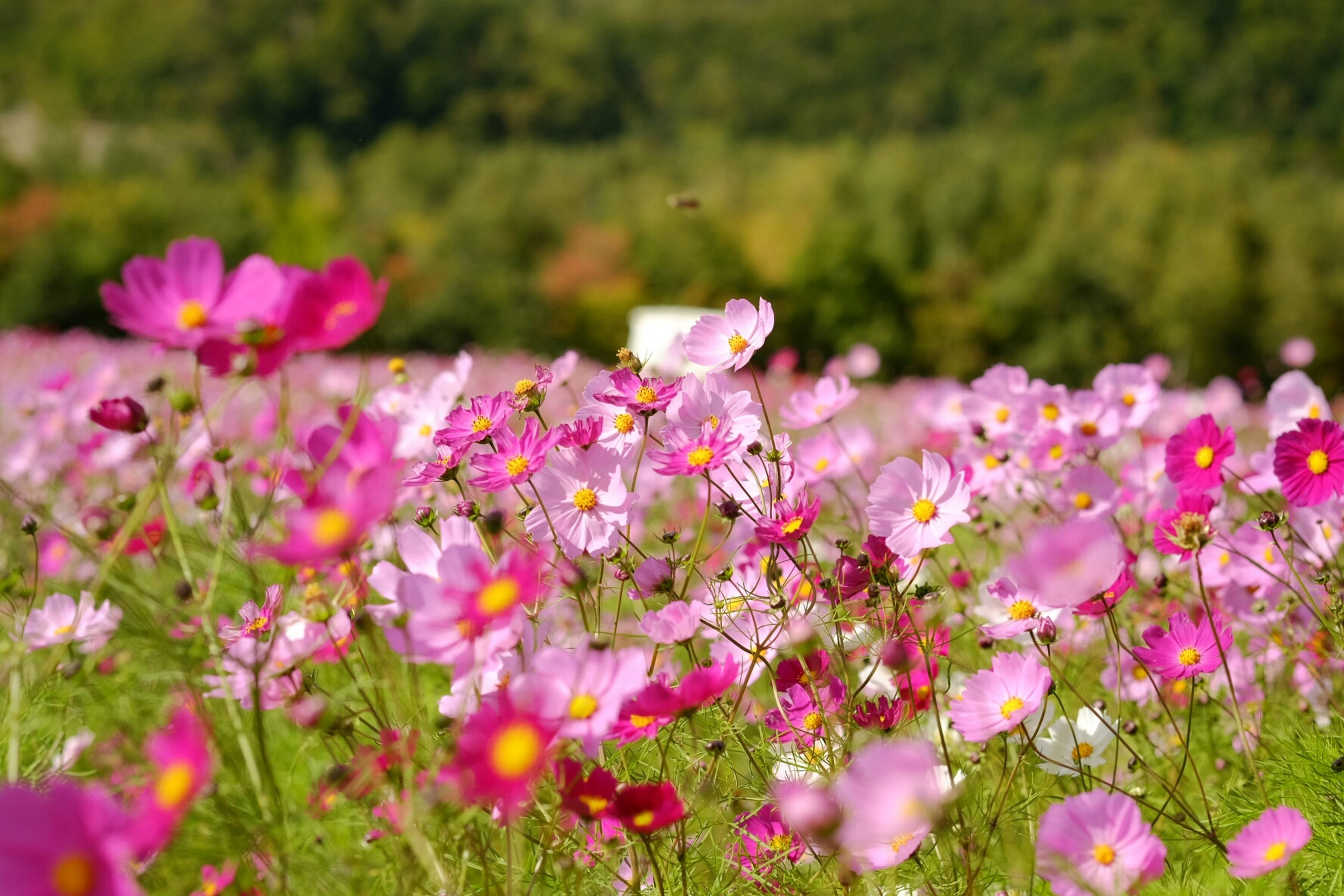 flower, freshness, growth, fragility, beauty in nature, pink color, petal, nature, focus on foreground, blooming, plant, flower head, field, selective focus, in bloom, close-up, stem, blossom, pink, outdoors