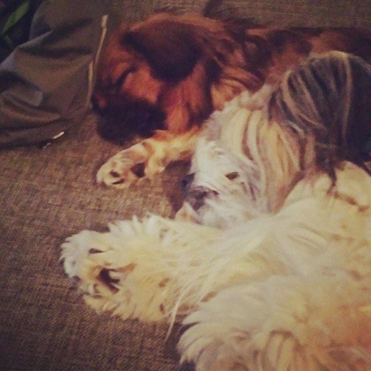 Cute Sleepy Dogs Playing Instadogs DoggyLove Kosegutt Kosejente