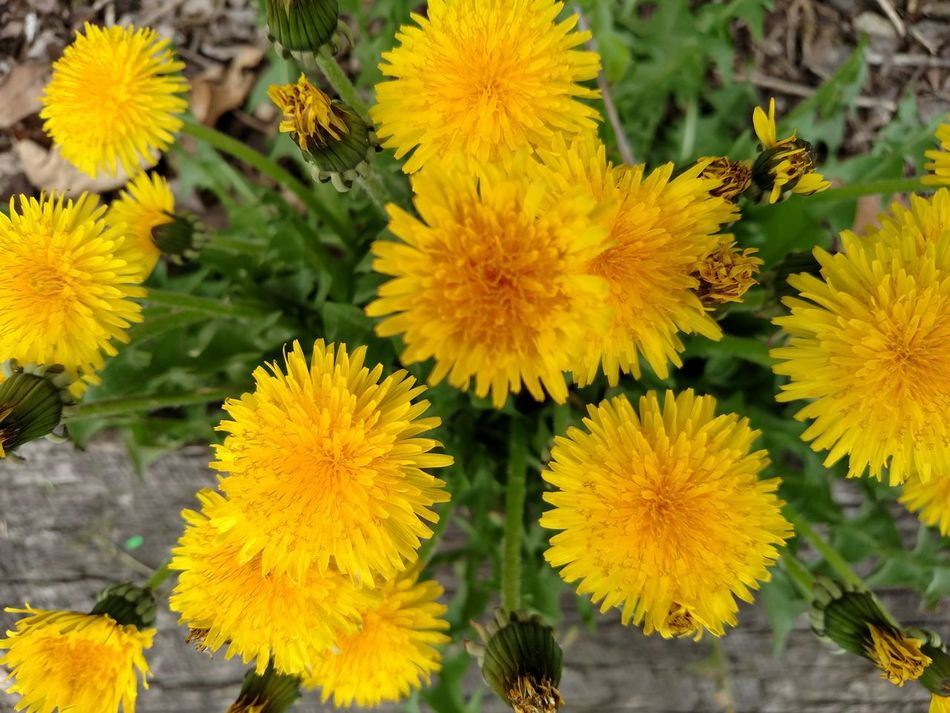 Dandelions Appreciate The Little Things In Life Appreciate Nature Love Nature No People Through My Lens Gods Creation Feed The Bees Simple Photography Ladyphotographerofthemonth Nature Is Art Yellow Flowers Gods Beautiful Creation