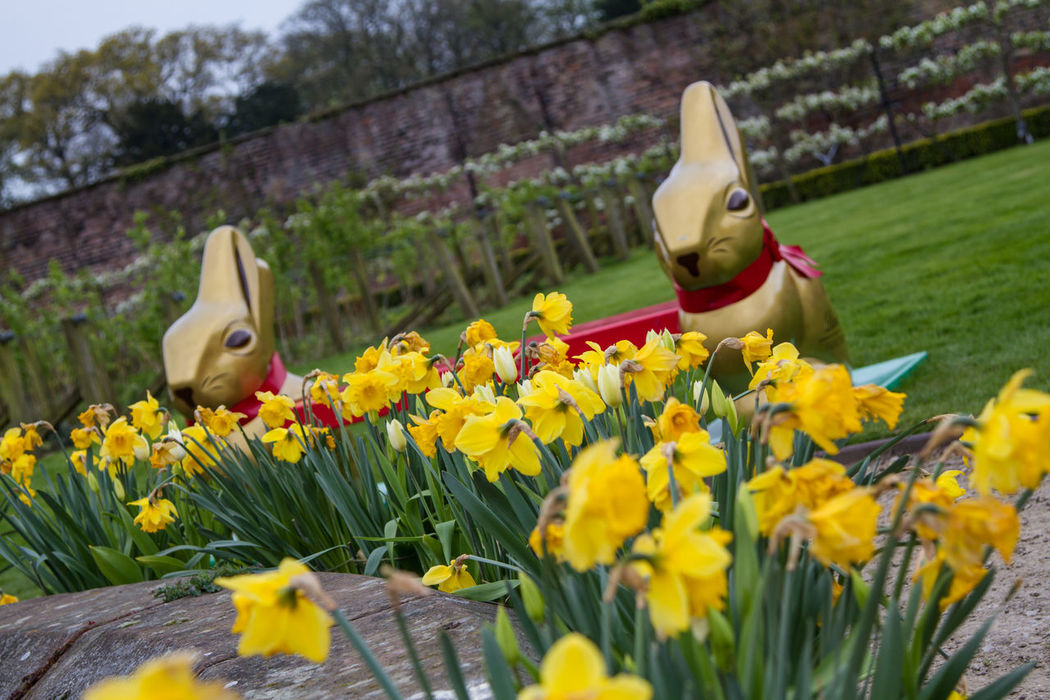 Daffodils at Easter Daffodils Easter The Easter Bunny!!  Bunny  Yellow