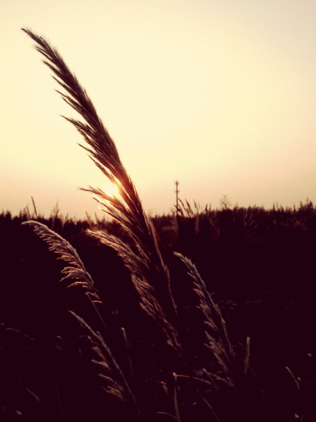 TCPM Growth Nature Field Cereal Plant Sunset Crop  Tranquil Scene Agriculture Plant No People Clear Sky Sky Wheat Tranquility Scenics Outdoors Beauty In Nature Landscape Rural Scene Silhouette Art Is Everywhere EyeEmNewHere Break The Mold