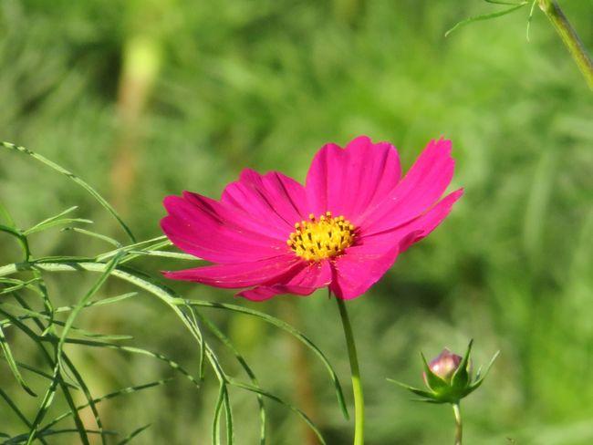 Flower Cosmos Flower Cosmos Cosmos Flower コスモス 秋桜 花 秋の花