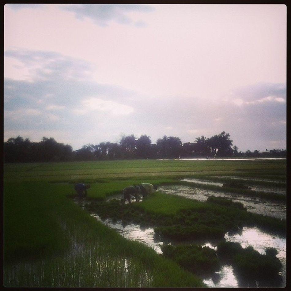 Punla ng buhay. Ricefield Farmer Bulakenyo Naturelover BulacanBulacan Philippines @loves_philippines @tuklas_pilipinas @photosharingcommunity