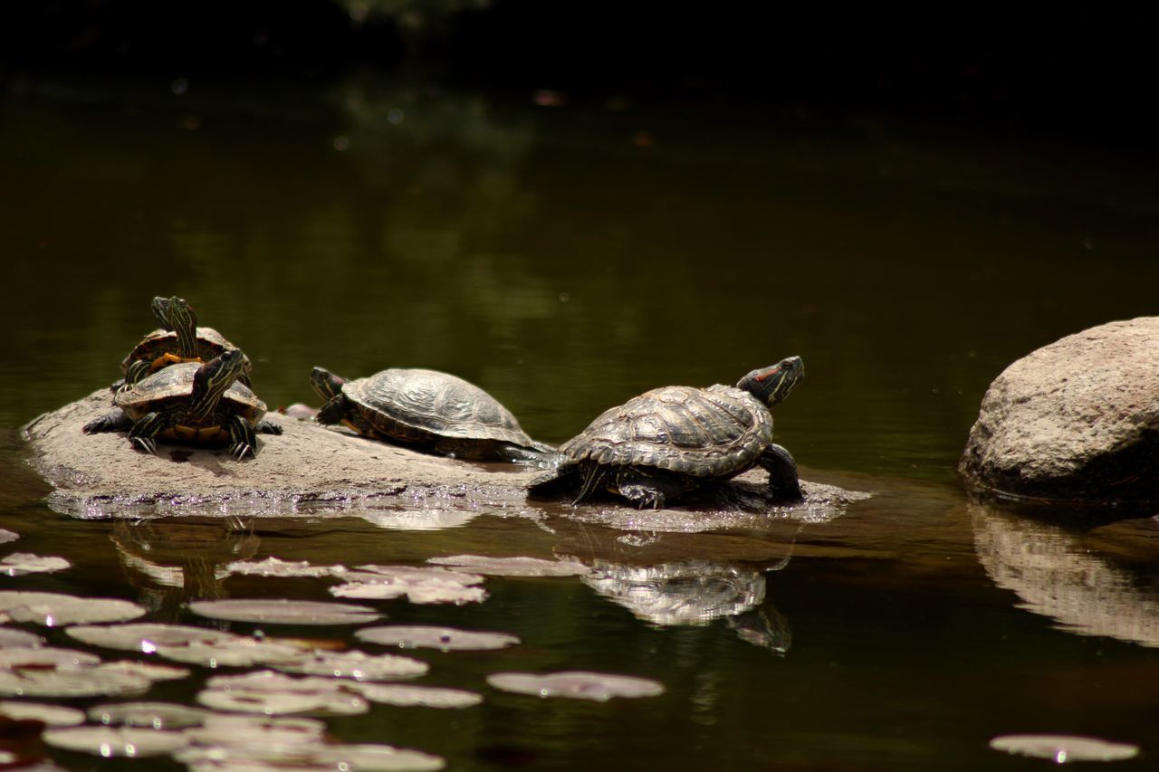 Animals In The Wild Animal Themes Water Lake Two Animals Waterfront Nature No People Animal Wildlife Outdoors Day Swimming Reptile Togetherness Beauty In Nature Close-up The Great Outdoors - 2017 EyeEm Awards Lake View Lake Turtle Turtles BYOPaper! Live For The Story