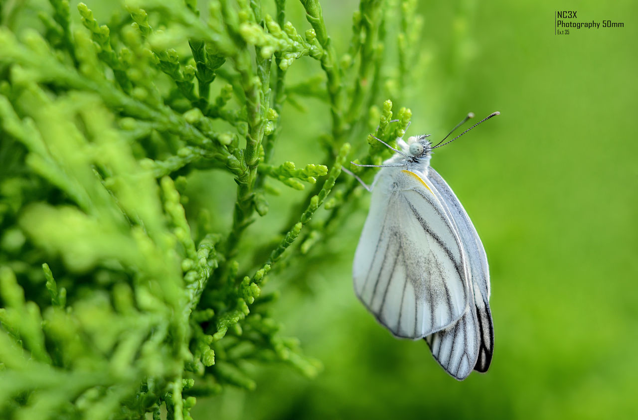 one animal, insect, animal themes, green color, animals in the wild, animal wildlife, butterfly - insect, close-up, no people, nature, focus on foreground, day, outdoors, beauty in nature, fragility, spread wings