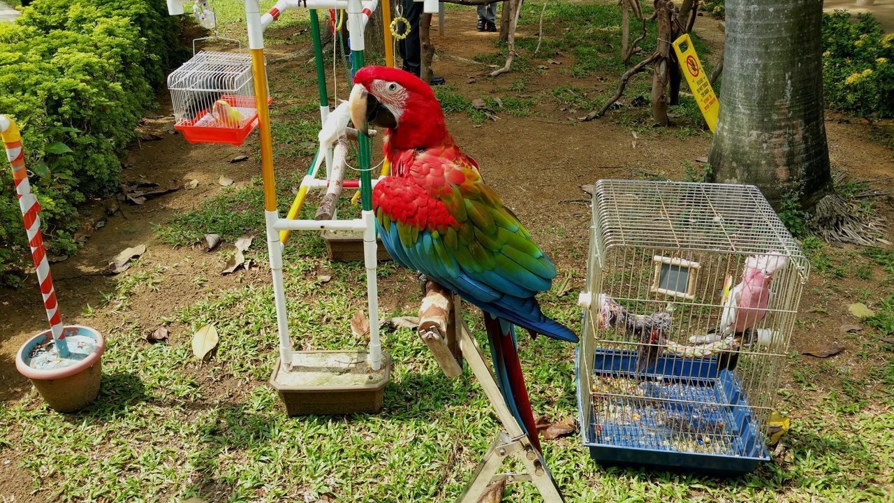 bird, animal themes, cage, day, no people, parrot, domestic animals, outdoors, nature, perching, macaw
