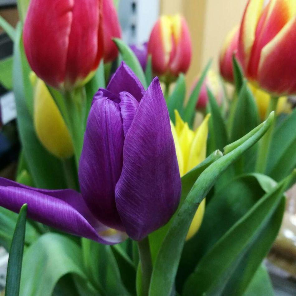 Tulips Flower Purple Freshness Petal Plant Spring Stalybridge Cheshire