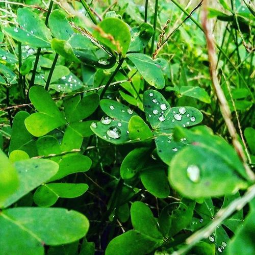 Raindrops Green Nature Afterrain Pic Picture Naturecollection Autumn Autumncollection October 2015  Myphoto Photo Photooftheday Dailyshoot Instadaily Powerfulcolours Christal  Drop Drops Love Instamoment Instagramers Cute